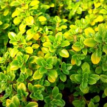Thyme Archer's Gold Lemon