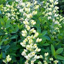 Carolina Moonlight Baptisia