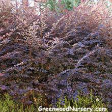 Red Barberry Shrubs