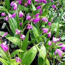 Bletilla striata Hardy Orchid