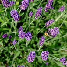 Blue River Lavender Plants