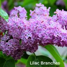 Branches for Forcing - Mid - Late Spring