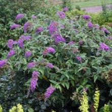Purple Haze Buddleia