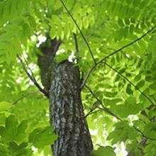 Butternut Trees Juglans Cinerea