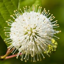 Buttonbush Shrubs