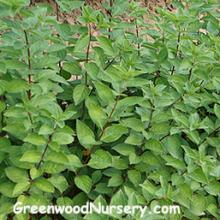 California Privet Shrubs