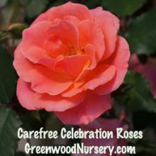 Carefree Celebration Rose