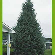 Arizona Cypress Carolina Sapphire Tree