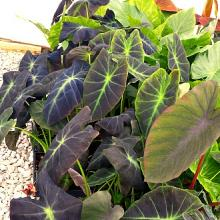 Colocasia Black Beauty | Elephant Ears