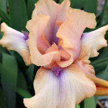 Concertina Re-Blooming Iris