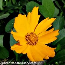 Coreopsis Nana Mouse Ear