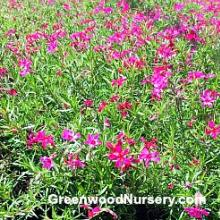 Crimson Beauty Red Creeping Phlox