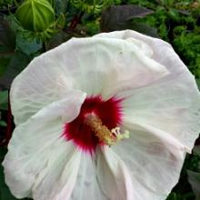 Hibiscus Crown Jewels | Hardy Hibiscus