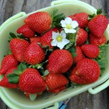 Darselect June Bearing Strawberry Plants