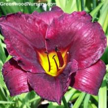 Daylily Hemerocallis Raspberry Suede