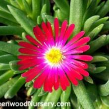 Delosperma Jewel of Desert Garnet | Garnet Ice Plant