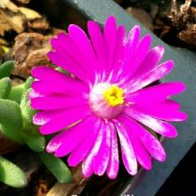 Delosperma Jewel of the Desert Opal | Opal Ice Plant