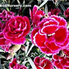 Dianthus Burgundy Blush