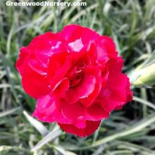 Dianthus Ruby's Tuesday