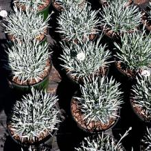 Dianthus Silver Star