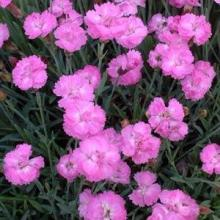 Dianthus Tiny Rubies