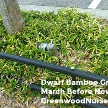 Dwarf Bamboo | Pleioblastus distichus