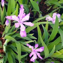 Dwarf Blue Crested Iris