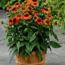 Sombrero Orange Coneflower