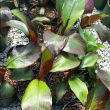 Ensete Red Abyssinian Banana - 1 Gallon