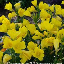 Oenothera Sundrops - Evening Primrose