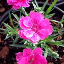Dianthus Everlast Dark Pink