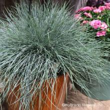 Festuca Beyond Blue
