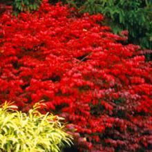 Fire Ball Euonymus Alatus Bushes