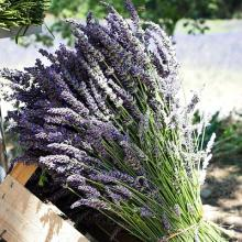 Lavender Fred Boutin