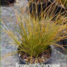Frosted Curls Carex