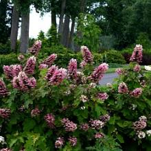 Gatsby Pink Oakleaf Hydrangea