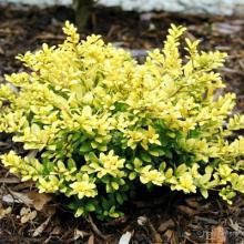 Brass Buckle Ilex | Dwarf Japanese Holly