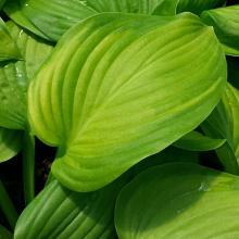 Hosta Guacamole Plantain Lily