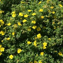 Happy Face Potentilla