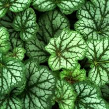 Green Spice Coral Bells | Heuchera Varieties