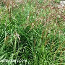 Miscanthus Huron Sunrise Maiden Grass