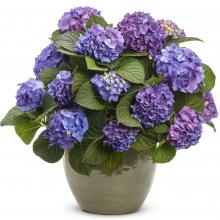 Blue Jangles Hydrangea