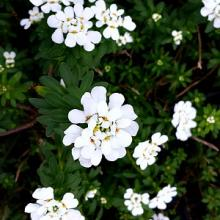 Iberis sempervirens Purity Candytuft