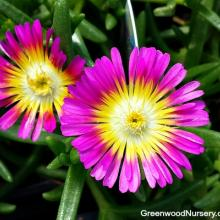 Delosperma Wheels of Wonder Hot Pink Wonder