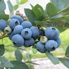 Jersey Blueberry Bush