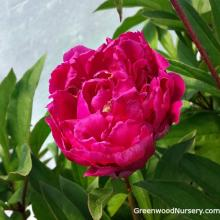 Karl Rosenfield Double Peony