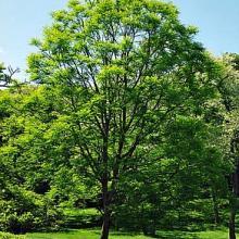 Kentucky Coffee Tree