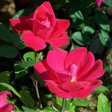 Knockout Red Rose Bushes