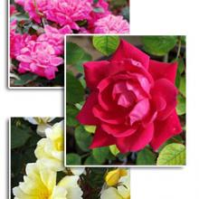 Knockout Roses Plant Collection