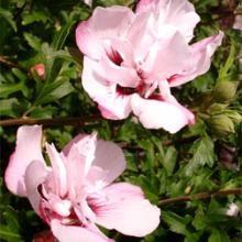 Blushing Bride Rose of Sharon